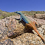 Cape Flat Lizard  South Africa Poster by Piotr Naskrecki