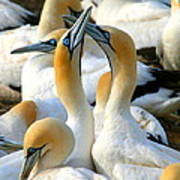 Cape Gannet Courtship Poster by Bruce J Robinson