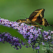 Captivating Swallowtail On Butterfly Bush Flower Poster