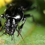 Carabid Beetle Rootworm Rredator Poster
