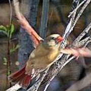 Cardinal 4 Poster