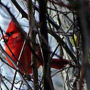 Cardinal And Thorns Poster