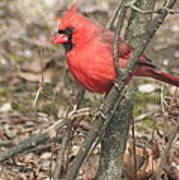 Cardinal In A Bush Poster