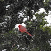 Cardinal In The Snow Poster by Rebecca Cearley