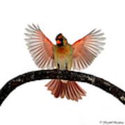 Cardinal Landing On Handle Poster