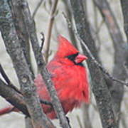 Cardinal With Fluffed Feathers Poster