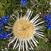 Carlina Acaulis And Gentiana Verna Poster