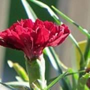 Carnation Named Hounsa Poster