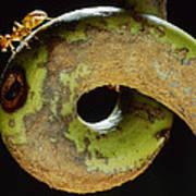 Carpenter Ant Camponotus Schmtzi Poster