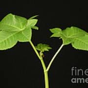 Castor Bean Plant Poster