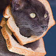 Cat Breading Sandwich  Poster