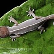 Cat Gecko Poster