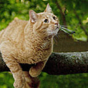 Cat Hanging On A Limb Poster
