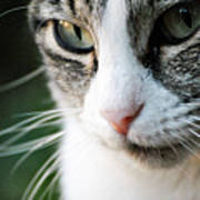 Cat Portrait Poster by Julia Williams