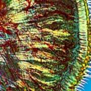 Cat Tongue Tissue, Light Micrograph Poster by Dr Keith Wheeler