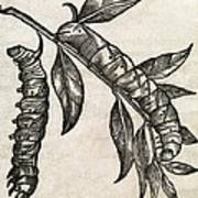 Caterpillars, 17th Century Artwork Poster
