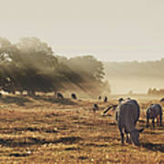Cattle Grazing On Misty Morning Poster