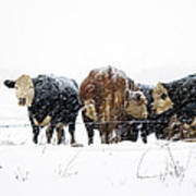 Cattle In A Snowstorm In Southwest Michigan Poster