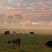 Cattle In The Fog Poster