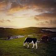 Cattle, Mannin Bay, Co Galway, Ireland Poster