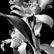 Cattleya - Bw Poster by Christopher Holmes