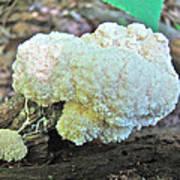 Cauliflower Mushroom On Log Poster