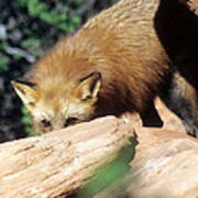 Cautious Red Fox Poster