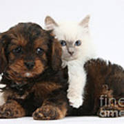Cavapoo Pup And Blue-point Kitten Poster