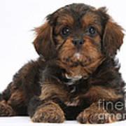 Cavapoo Pup Poster