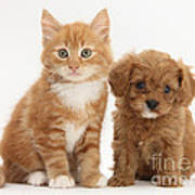 Cavapoo Puppy And Kitten Poster
