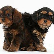 Cavapoo Pups Poster