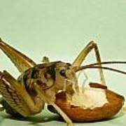 Cave Cricket Eating An Almond 2 Poster
