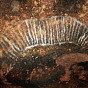 Cave Painting Of A Witchittey Grub Poster