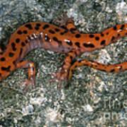 Cave Salamander Poster