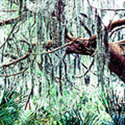Cedar Draped In Spanish Moss Poster