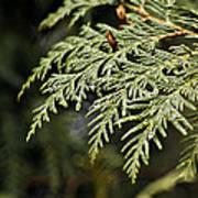 Cedar Due Droplets Poster