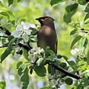 Cedar Waxwing Among Apple Blossoms Poster