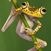 Chachi Tree Frog Hypsiboas Picturatus Poster