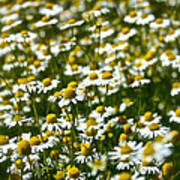 Chamomile Fields Poster