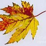 Changing Autumn Leaf In The Snow Poster