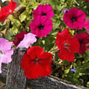 Chawton Petunias Poster