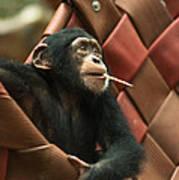 Cheeky Chimp Poster