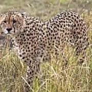 Cheetah Acinonyx Jubatus, Masai Mara Poster by Chris Upton