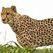 Cheetah Hunting Poster