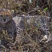 Cheetah Kitten Poster