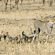 Cheetah Mother And Cubs Poster