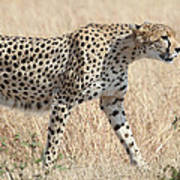 Cheetah Stepping Out Poster