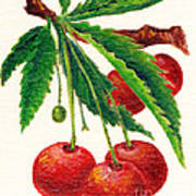 Cherries On A Branch Poster