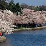 Cherry Blossom Festival, Jefferson Poster by Richard Nowitz
