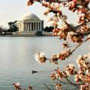 Cherry Blossom In Dc Poster